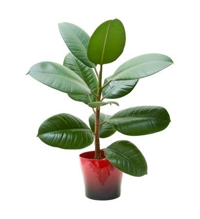 rubberplant1